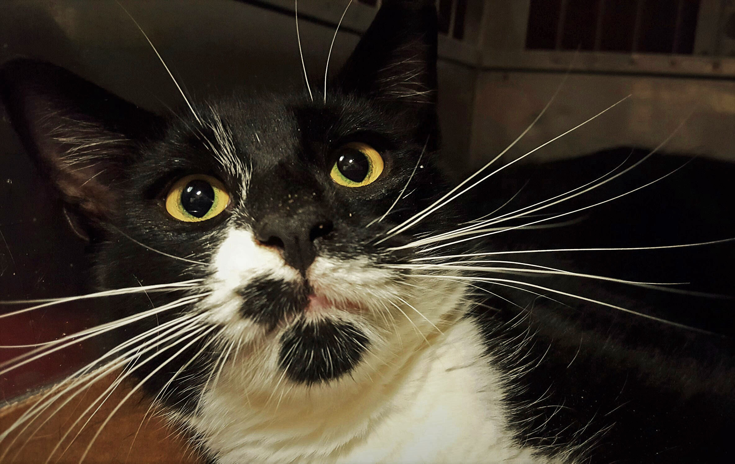 Bebe - A male poly-tux cat. Please come visit me!!
